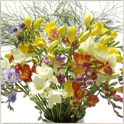 Як виростити квіти фрезії