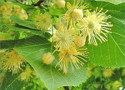 Китайський лимонник і його універсальні лікувальні властивості
