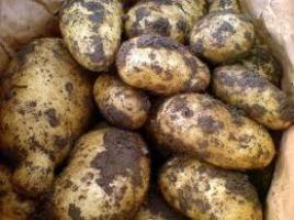 Як виростити хороший урожай картоплі?