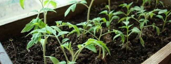 Як виростити хорошу розсаду томатів?