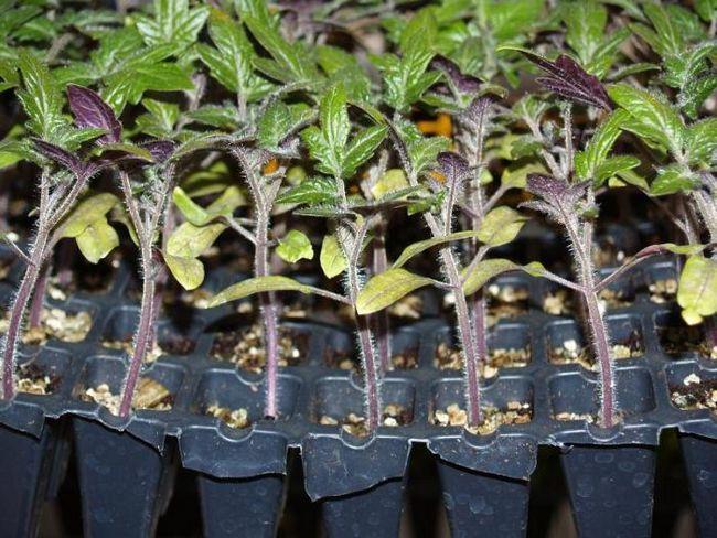 Як виростити хорошу розсаду томатів