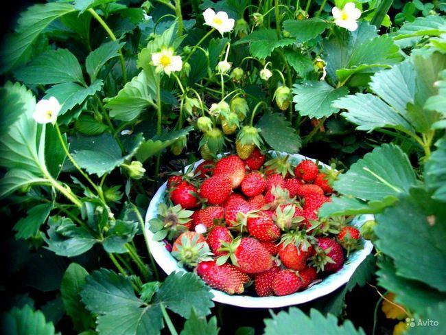 розсада полуниці насінням