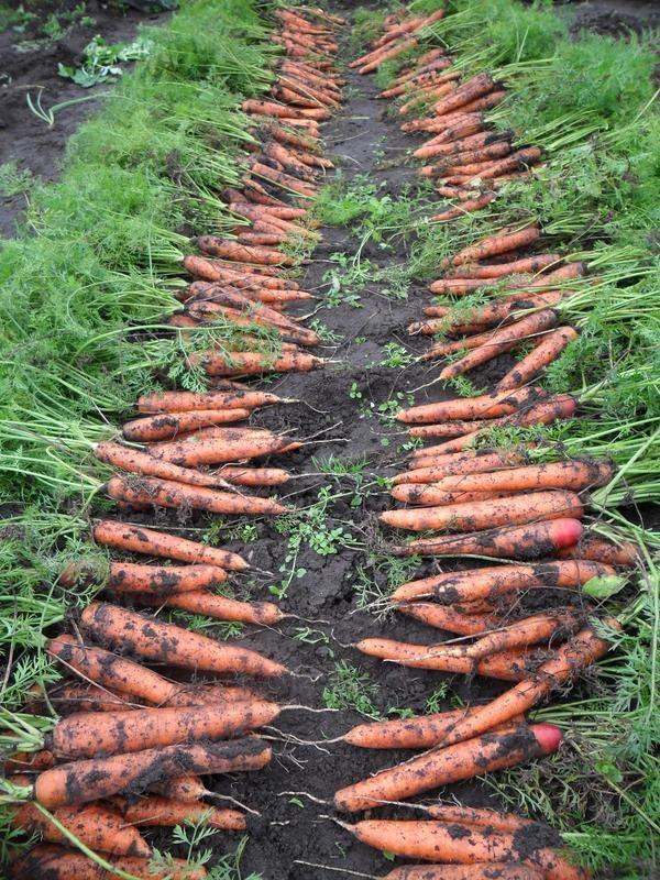 Як виростити велику і солодку морквину