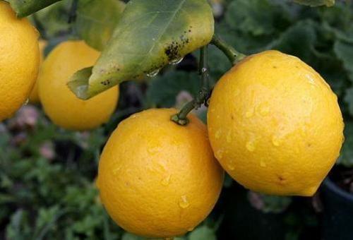 Кімнатне дерево лимона