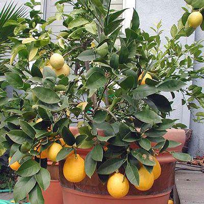 Догляд за лимоном в домашніх умовах