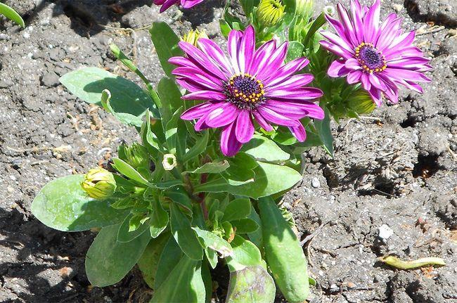 Як виростити остеоспермум з насіння або живців