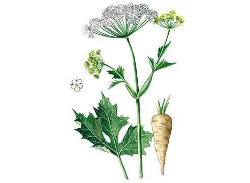 Пастернак, Pastinaca sativa L., листя, суцвіття,
