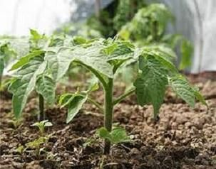 Догляд за розсадою помідорів