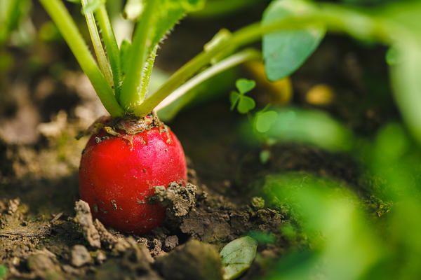 Поливайте посіви помірно, але регулярно