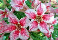цвітіння адениума