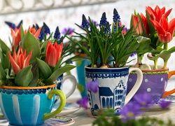 Як виростити тюльпани до свята в домашніх умовах?
