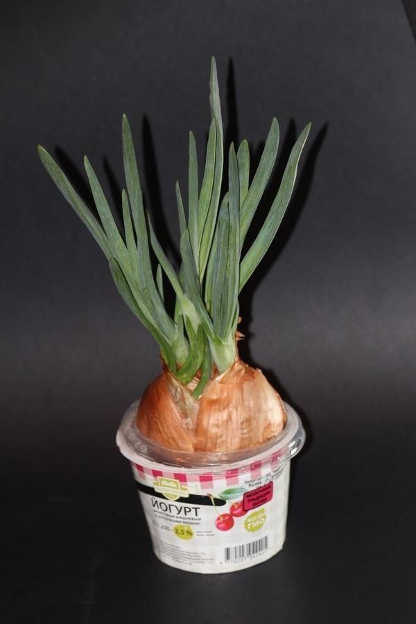 Як виростити смачний цибулю на підвіконні - секрети і тонкощі