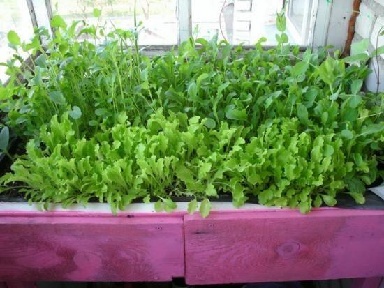 зелень вирощування