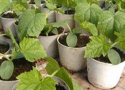 вирощування домашніх огірків