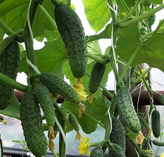 Як висаджувати огірки правильно?
