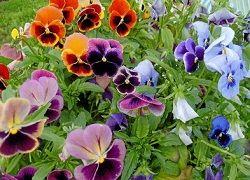 Які квіти посіяти на розсаду в лютому?