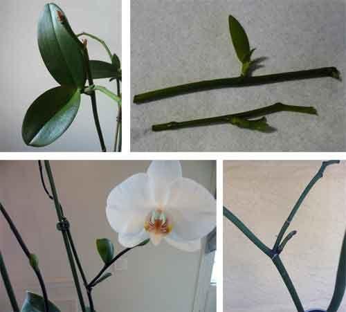 Які види орхідей розмножуються живцями?