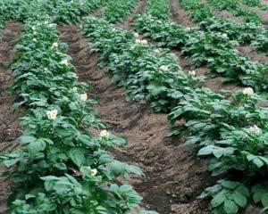 Яким буває пристосування для посадки картоплі