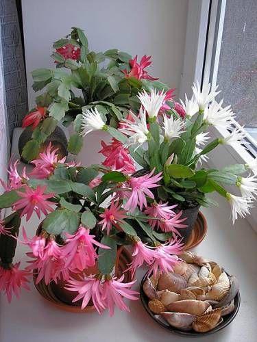 Кімнатна рослина декабрист