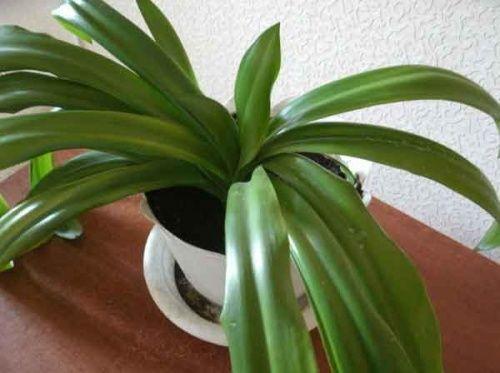Квітка із зеленим листям (гіменокаліс)