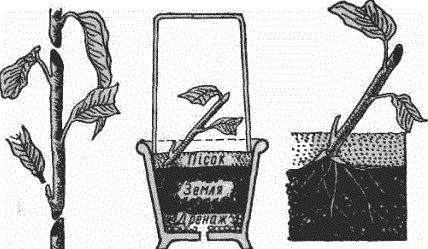 Каламондін - цитрусовий гібрид