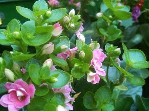 Каланхое блоссфельда - квіти моєї мрії