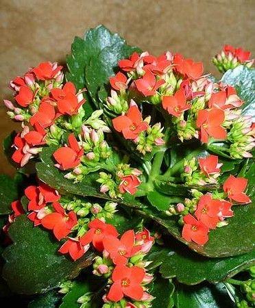 Каланхое квітучий - каприз задоволений