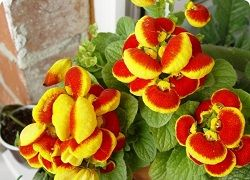 Кальцеолярія - ефектне рослина зі своїми примхами