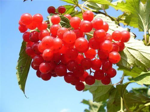 Калина червона - красиве і корисне дерево в саду