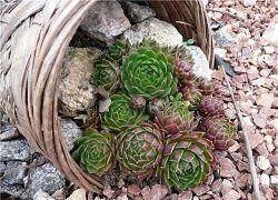 почвопокривні рослини