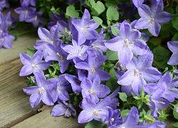 Кампанула зі скромними квіточками