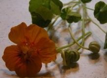 Каперси з насіння настурції