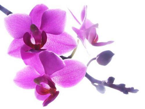 Картинки квітів орхідей
