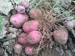 Картопля - посадка і догляд у відкритому грунті, прибирання і зберігання