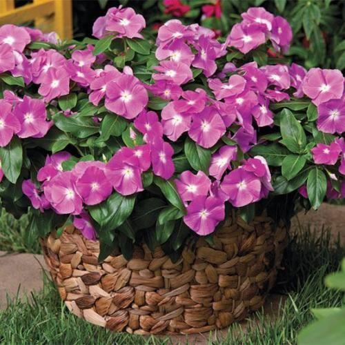 Катарантус рожевий - отруйний, але дуже корисний