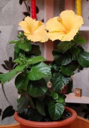 Китайська троянда будинку - гарний мешканець простого догляду