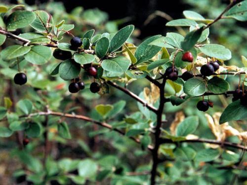 Кизильник чорноплідної, характеристика рослини, розміщення в саду і догляд