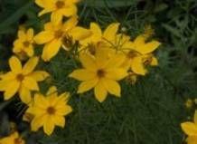 Класичні рослини: кореопсис