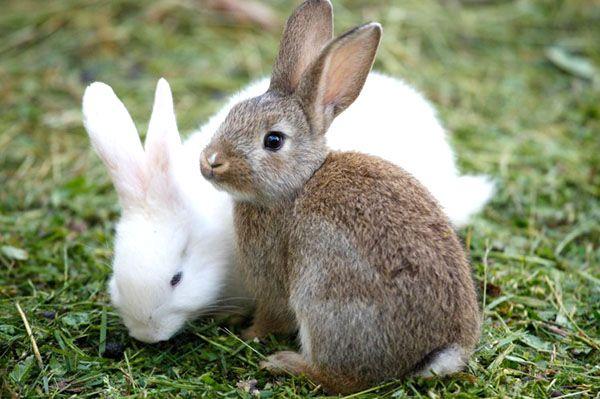 Класифікація порід кроликів і фото з описами