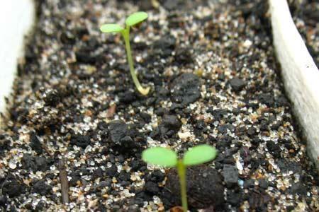 насіння