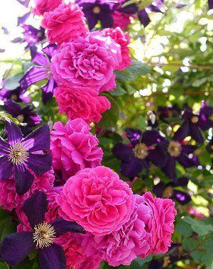 оксамитові троянди