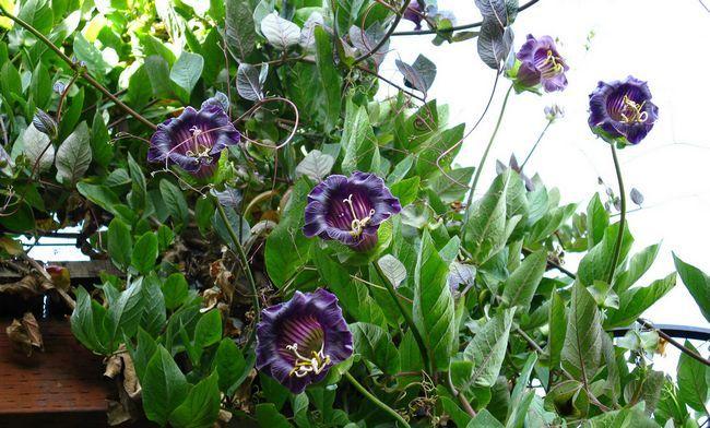 Кобе - чарівна красуня для прикраси саду і балкона