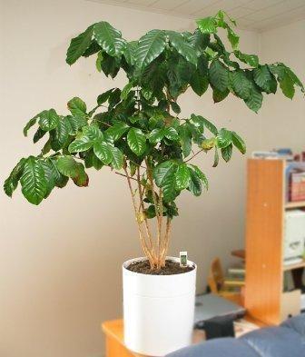 Як виростити кавове дерево фото
