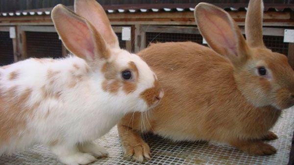 Коли і навіщо робити щеплення кроликам?