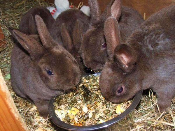 Коли отсаживать кроленят від кролиці - поради початківцям
