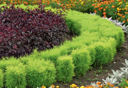 Кохия: річний кипарис в дизайні саду, посадка і догляд