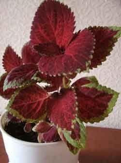 Колеус блюмі - кімнатна квітка з строкатим листям