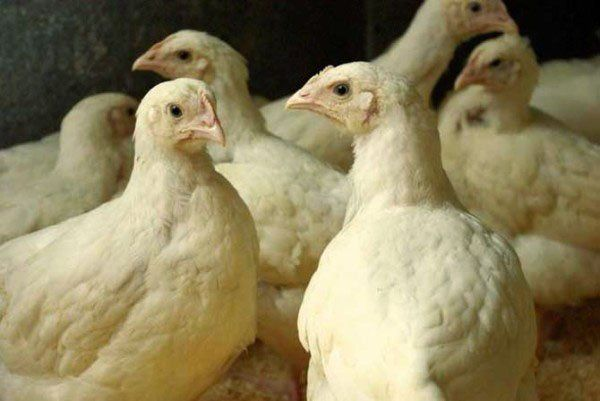 Для успішного розвитку курчат бройлерів потрібен вітамінізований корм