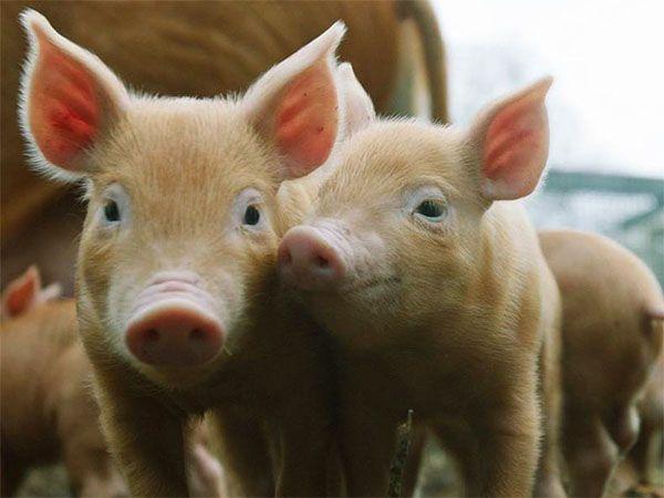 Комбікорм для маленьких поросят і дорослих свиней