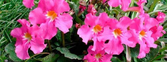 Коммеліна: опис, розмноження, догляд, посадка, застосування в саду, фото, сорти і види